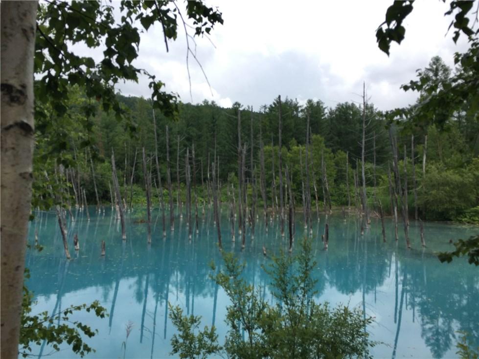美瑛、青い池の画像