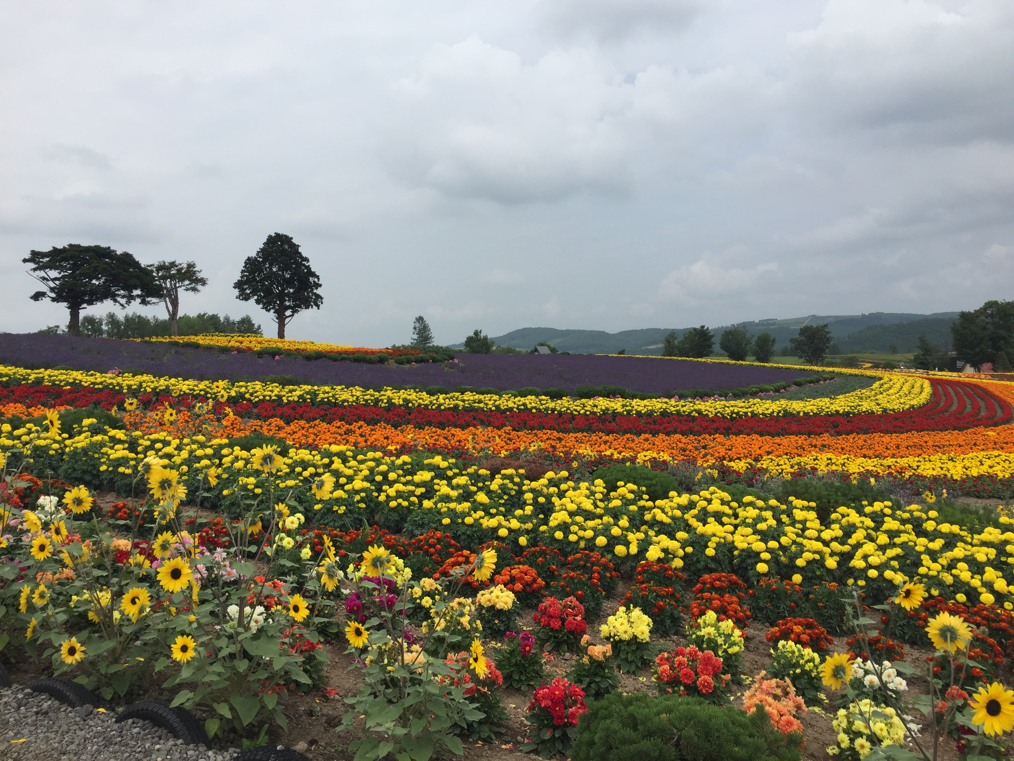 美瑛・ぜるぶの丘の画像